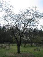 Foto 3 Brauchen ihre Obstbäume mal wieder einen fachkundigen Schnitt