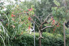 Foto 4 Brauchen ihre Obstbäume mal wieder einen fachkundigen Schnitt