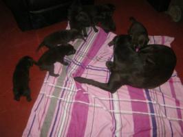 Foto 4 Braune Labrador Welpen Hausaufzucht
