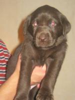Foto 6 Braune Labrador Welpen Hausaufzucht