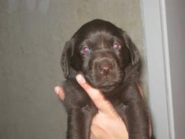 Foto 7 Braune Labrador Welpen Hausaufzucht