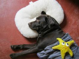 Foto 8 Braune Labrador Welpen Hausaufzucht
