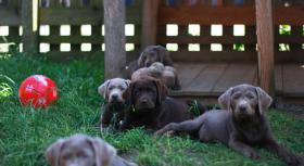 Braune und schwarze Labradorwelpen!