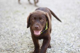 Foto 3 Braune und schwarze Labradorwelpen!