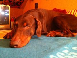 Foto 4 Brauner Dobermann-Rüde zu verkaufen