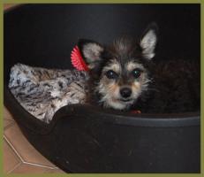 Foto 2 Brillantina weiblich 5 Jahre 32 cm 6 kg Terrier-Mix kastriert gechipt