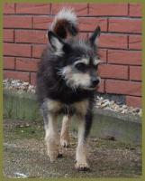 Foto 9 Brillantina weiblich 5 Jahre 32 cm 6 kg Terrier-Mix kastriert gechipt