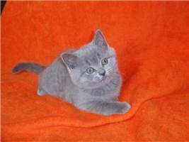 Foto 2 Brit Kurzhaarige!   Kätzchen!