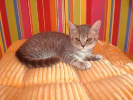 Britisch Katzenbabys mit Papiere abzugeben