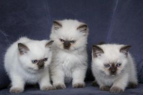 Britisch Katzenbabys mit Stammbaum