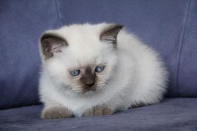 Foto 3 Britisch Katzenbabys mit Stammbaum