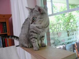 Foto 4 Britisch Kurzhaar BKH Whiskas- Katze abzugeben tabby black  silver spotted