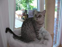 Foto 6 Britisch Kurzhaar BKH Whiskas- Katze abzugeben tabby black  silver spotted
