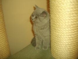 Foto 2 Britisch Kurzhaar Babys !