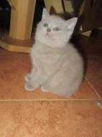 Britisch Kurzhaar Kätzchen mit Papiere