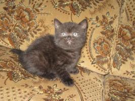 Foto 2 Britisch Kurzhaar Kätzchen mit Papiere