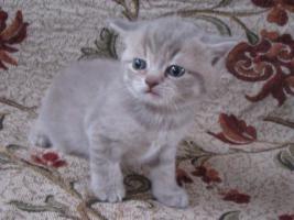 Foto 3 Britisch Kurzhaar Kätzchen mit Papiere