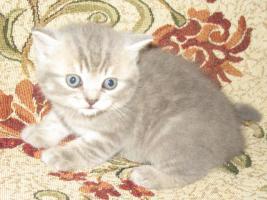 Foto 4 Britisch Kurzhaar Kätzchen mit Papiere
