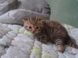 Foto 5 Britisch Kurzhaar Kätzchen mit Papiere