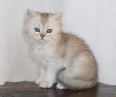 Foto 3 Britisch Kurzhaar Kater - silver-tic-tabby