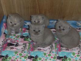 Foto 2 Britisch Kurzhaar Katzen