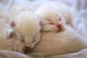 Britisch Kurzhaar Katzenbabys in wunderschönen Pointfarben