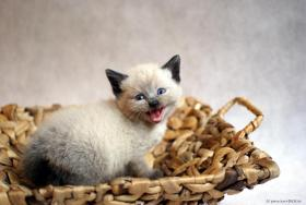 Foto 2 Britisch Kurzhaar Katzenbabys in wunderschönen Pointfarben