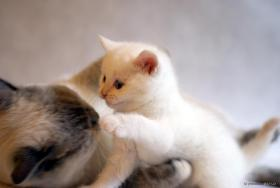 Foto 4 Britisch Kurzhaar Katzenbabys in wunderschönen Pointfarben