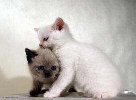 Foto 5 Britisch Kurzhaar Katzenbabys in wunderschönen Pointfarben