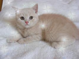 Foto 3 Britisch Kurzhaar Kitten