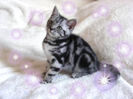 Foto 4 Britisch Kurzhaar Kitten