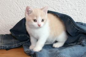 Foto 4 Britisch Kurzhaar Kitten Aikon, Aragon, Avatar und Rusty