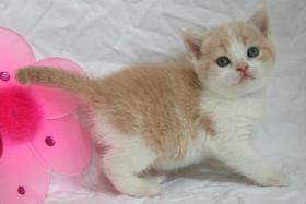Britisch Kurzhaar Kitten Träume werden wahr