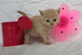 Foto 2 Britisch Kurzhaar Kitten Träume werden wahr