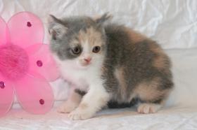 Foto 3 Britisch Kurzhaar Kitten Träume werden wahr
