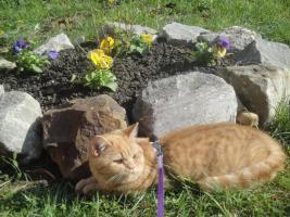 Foto 3 Britisch Kurzhaar Kitten zu verkaufen