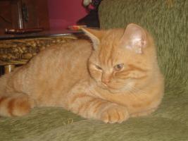 Foto 4 Britisch Kurzhaar Kitten zu verkaufen