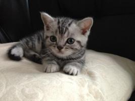 Foto 5 Britisch Kurzhaar Silver tabby Kitten