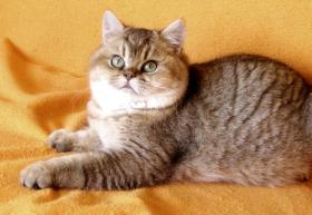 Foto 2 Britisch Kurzhaar goldener Kater mit Papiere