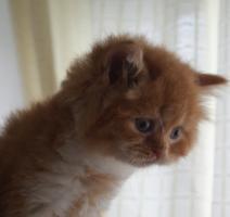 Foto 2 Britisch Langhaar Kitten zu vergeben