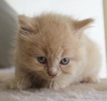 Foto 3 Britisch Langhaar Kitten zu vergeben