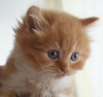 Foto 4 Britisch Langhaar Kitten zu vergeben