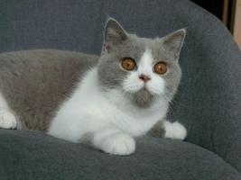Foto 4 Britisch kurzhaar Kätzchen