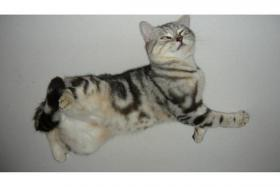 Britische BKH Kitten