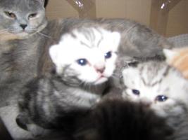 Foto 3 Britische BKH Kitten