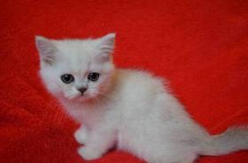 Britische Kätzchen mit Papiere in verschiedenen Farben