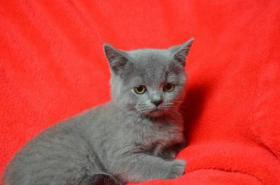 Foto 2 Britische Kätzchen mit Papiere in verschiedenen Farben