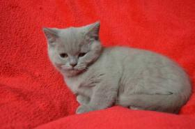 Foto 3 Britische Kätzchen mit Papiere in verschiedenen Farben