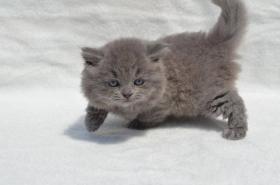 Foto 6 Britische Kätzchen mit Papiere in verschiedenen Farben