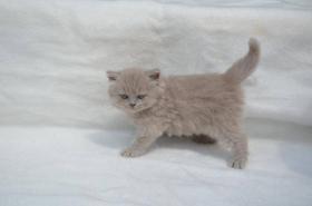Foto 7 Britische Kätzchen mit Papiere in verschiedenen Farben